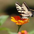 Swallowtail by Dennis Cheeseman