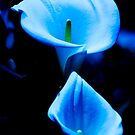 Beautiful Calla Lilies Pair Bathed in Blue Light by Beverly Claire Kaiya