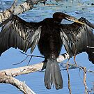 Great Cormorant by triciaoshea