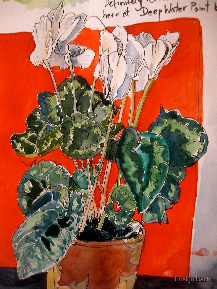 white cyclamen by Evelyn Bach