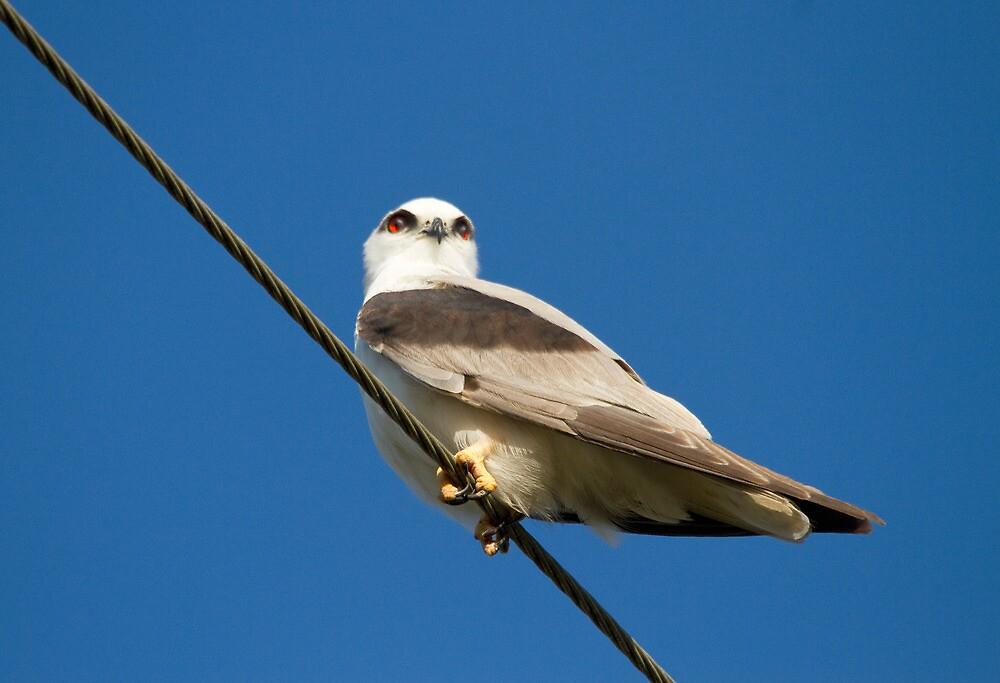 Red-eyed Kite by byronbackyard