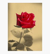 Red Rose Flower Isolated on Sepia Background Photographic Print