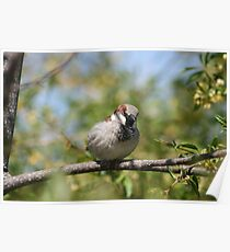 House Sparrow on a Branch Poster