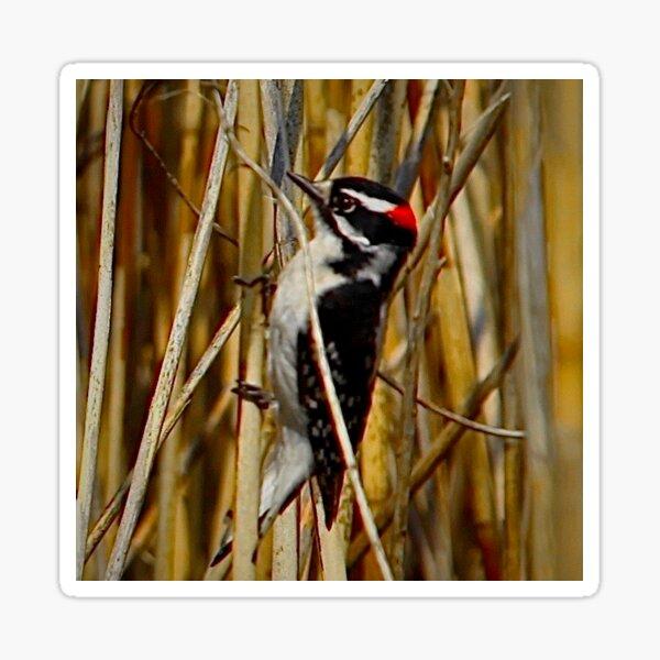 Red-headed woodpecker by Yannis Lobaina  Sticker