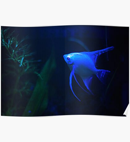 Platinum Angelfish (XL Poster) Poster