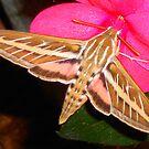 Hummingbird Moth by Dawn Becker