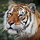 """"""" The Amur Tiger"""" by Malcolm Chant"""