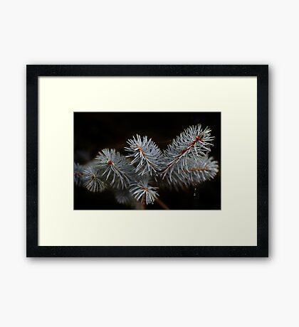 Blue Pine Framed Print