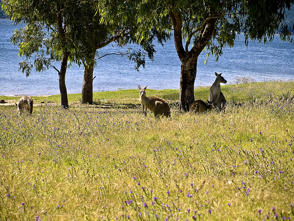 Eastern Grey kangaroos, Snowy Mountains, Australia by DBigwood