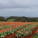 tulip paddock and countryside by gaylene