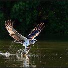 Osprey    485 by John Van-Den-Broeke