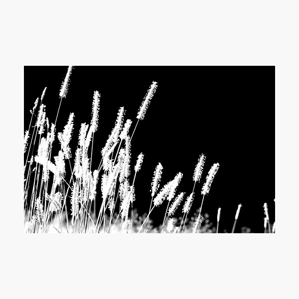 Moonlight Meadowgrass Photographic Print