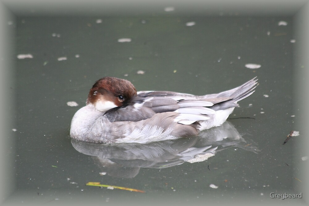 Common Smew by Greybeard