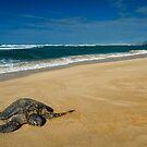 Green Sea Turtle, Oahu by Michael Treloar