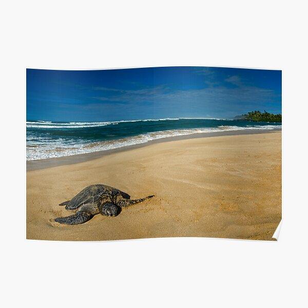 Green Sea Turtle, Oahu Poster