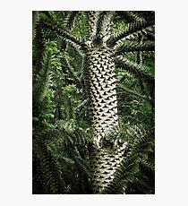 Monkey Puzzle Tree Photographic Print