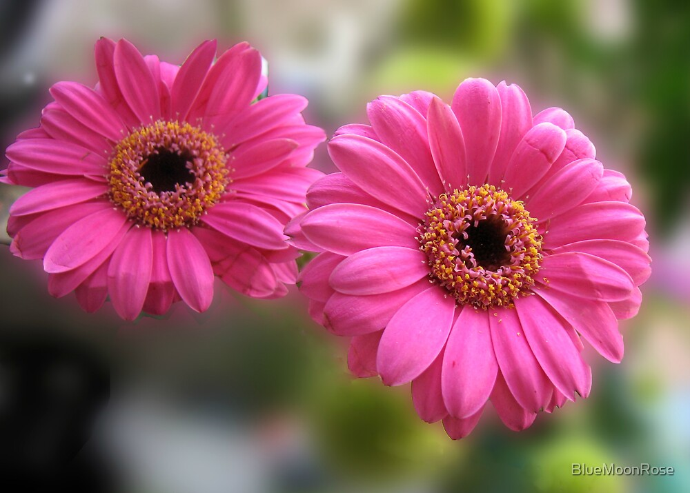 Pretty Pair - Blush Pink Gerbera Daisies (For Evita) by BlueMoonRose