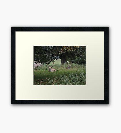 Two Stags (Dinefwr Deer Park) Framed Print