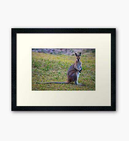 Wallaby Watching Framed Print