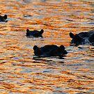 A hippo sunset! by Anthony Goldman