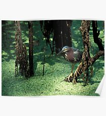 Green heron Poster