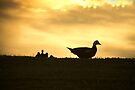 Momma Muscovy Duck and Baby Ducklings at Sunrise by ValeriesGallery