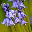 Bluebells in Spring 1 by Alison Hill
