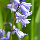 Bluebells in Spring 2 by Alison Hill