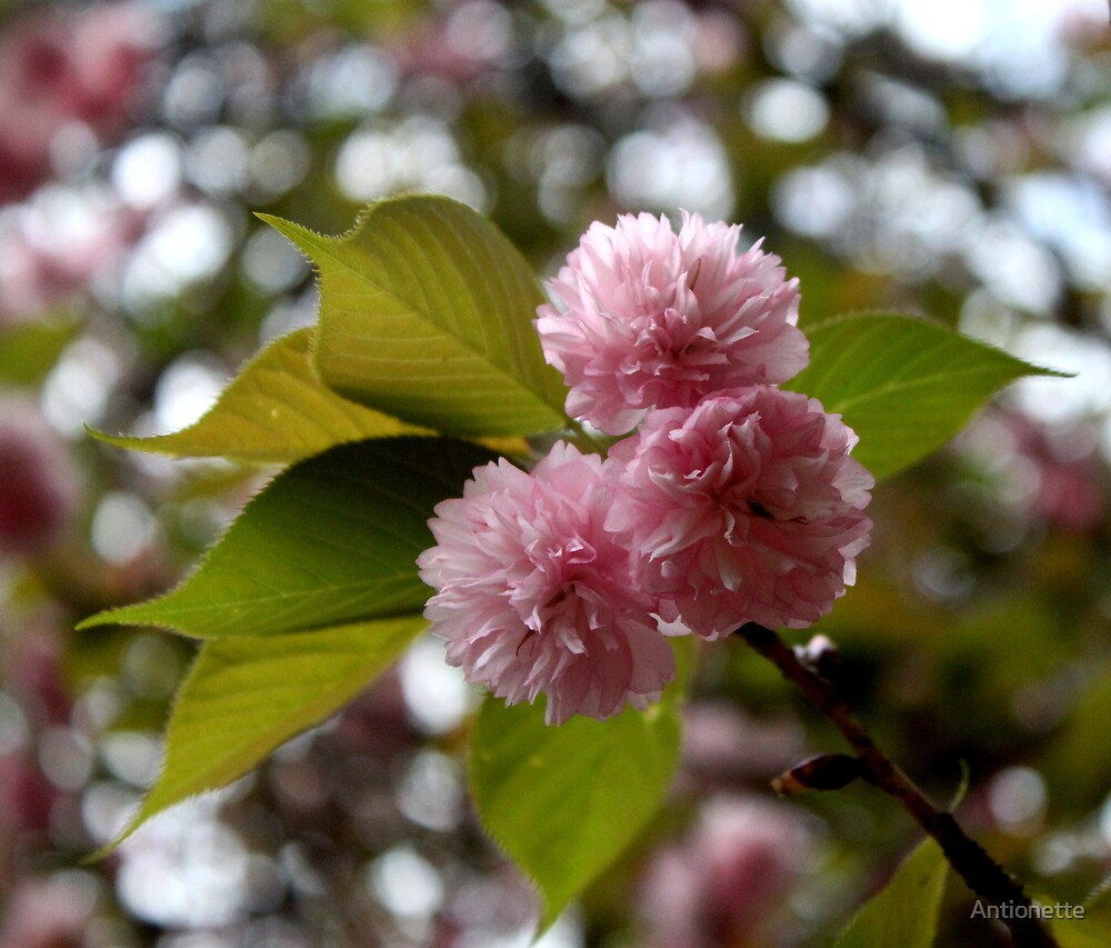 Cherry Blossoms  by Antionette