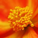 Begonia heart macro by mooksool