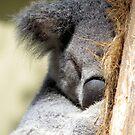 Koala Love 2 by Stuart Rocks