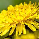 Dandelion by Photopa