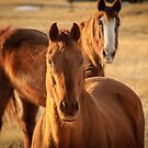 Horses by Photopa