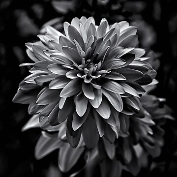 Backyard Flowers In Black And White 15 by learningcurveca