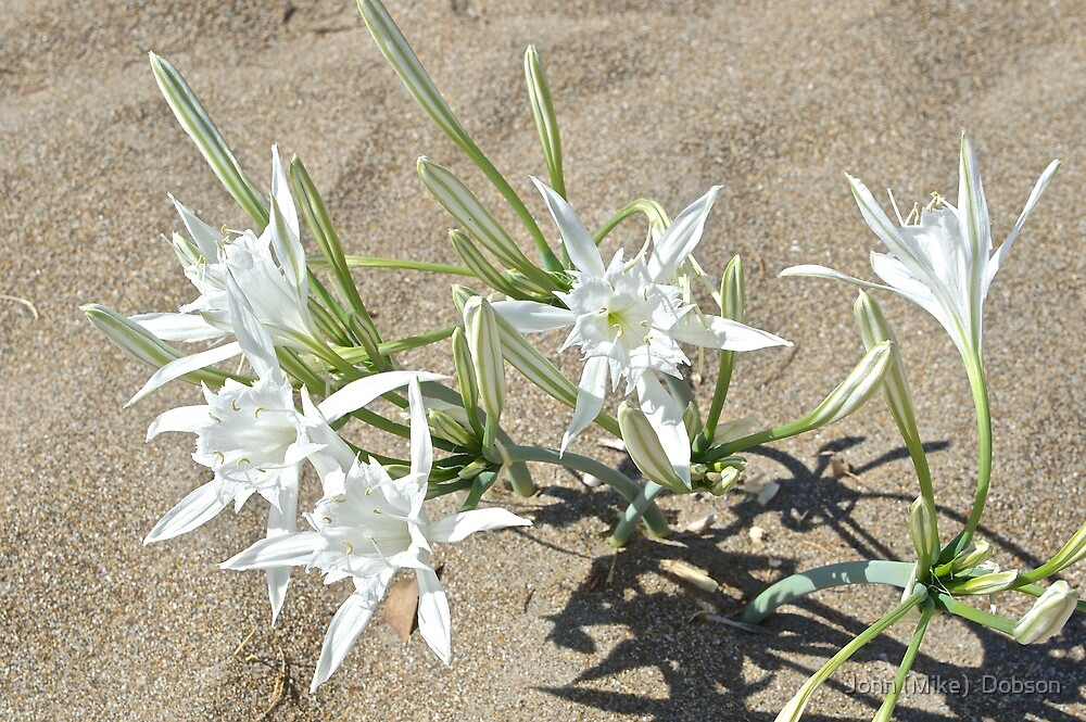 Growing on the beach. by John (Mike)  Dobson