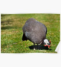 Guinea Fowl 2 Poster