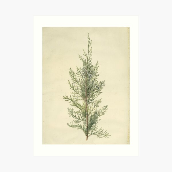 Botanical Juniper Art Print