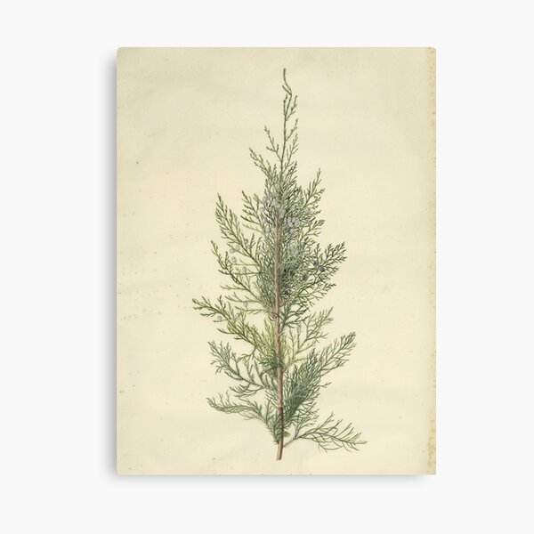 Botanical Juniper Canvas Print