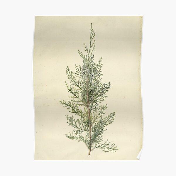 Botanical Juniper Poster