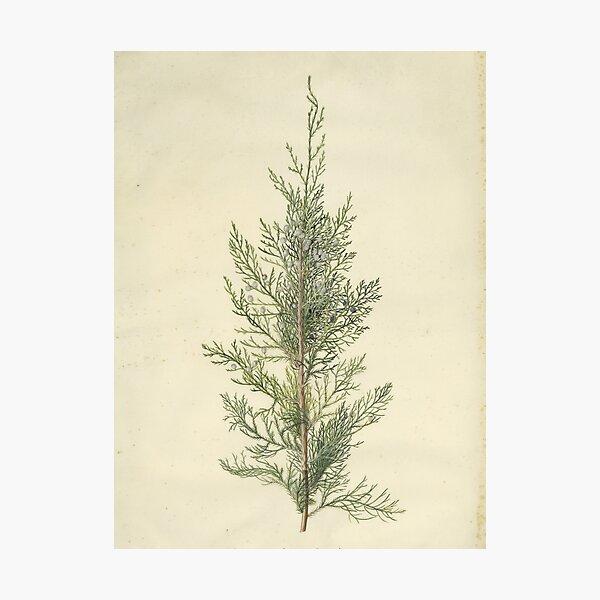 Botanical Juniper Photographic Print