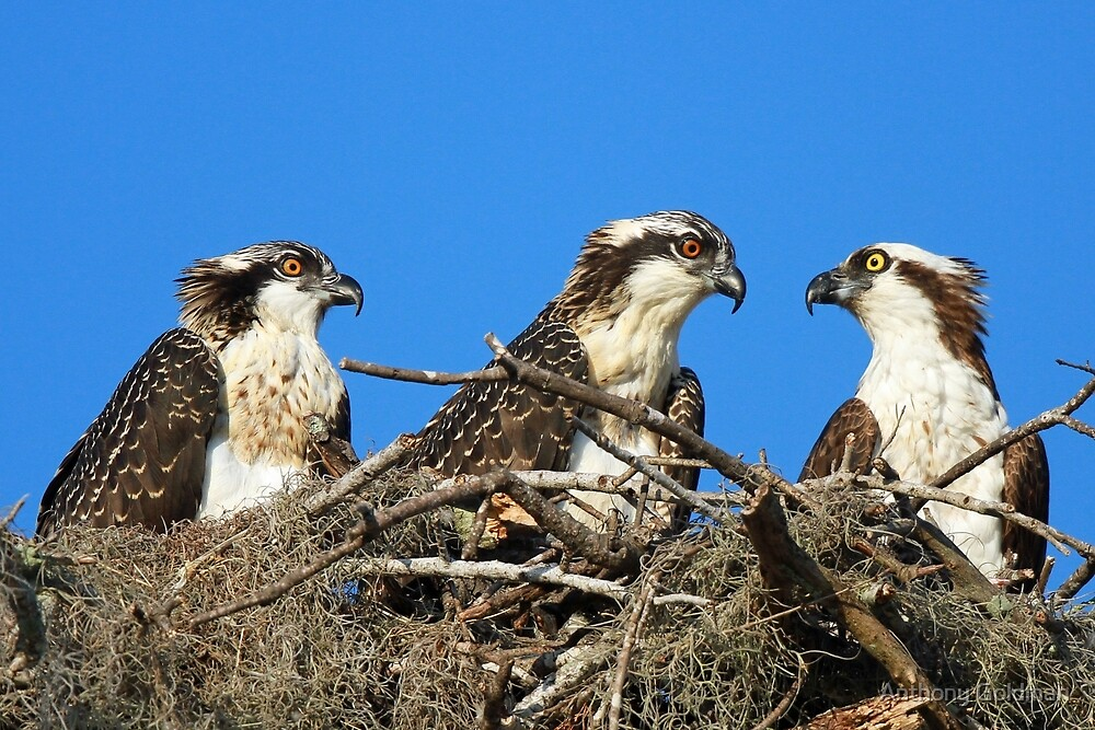 Osprey family photo:Remember everything i taught you kids!! by Anthony Goldman