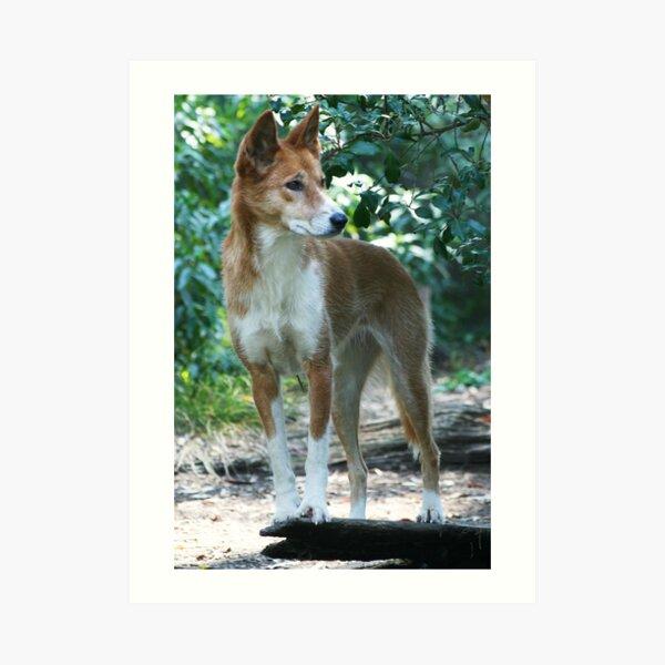 Dingo 2 Art Print