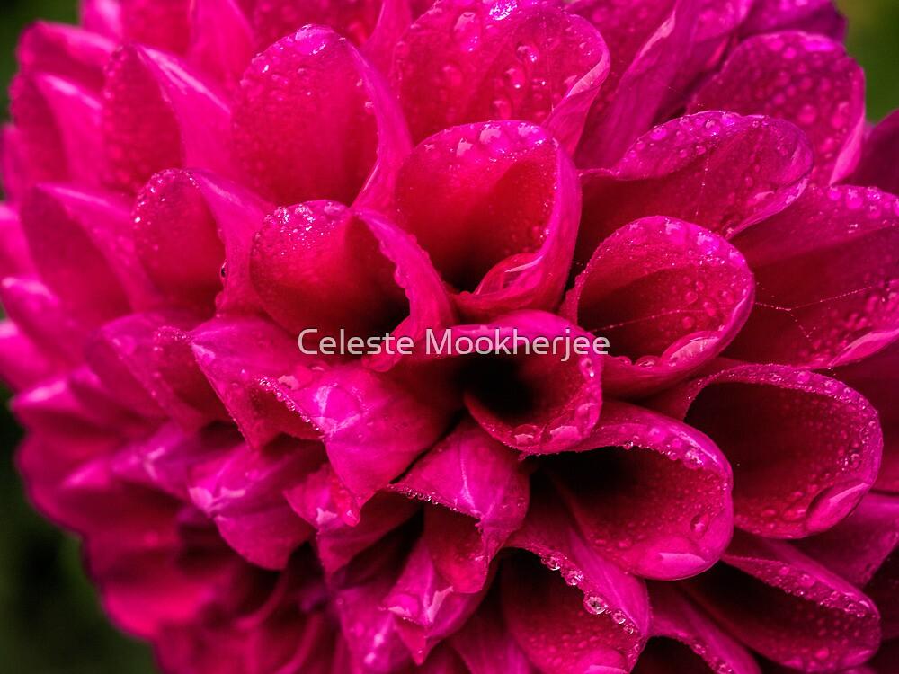 Dahlia in the rain by Celeste Mookherjee