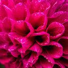 Dahlia in the rain by Celeste Mookherjee
