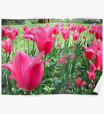 Tulips Tulips Tulips Poster