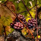 The Look Of Love ~ Grapes ~ by Charles & Patricia   Harkins ~ Picture Oregon