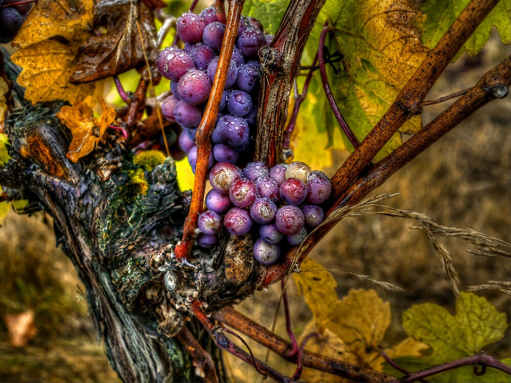 The Root Of Good Things ~ Grapes ~ by Charles & Patricia   Harkins ~ Picture Oregon