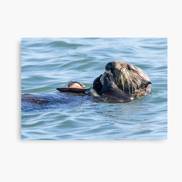 Sea otter dining club Canvas Print