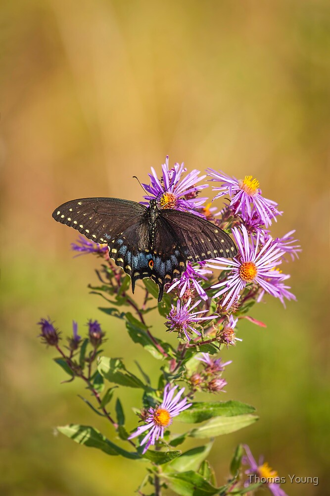Black Swallowtail on Aster Flower 1 by Thomas Young