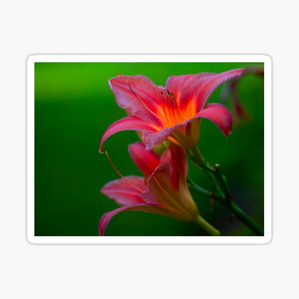 The beloved Lily by Yannis Lobaina  Sticker